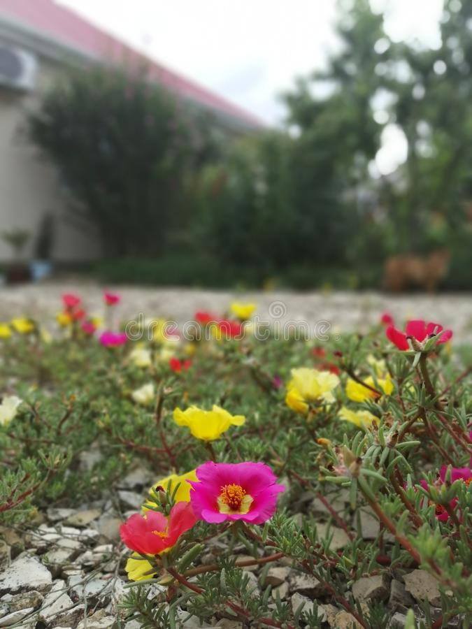 Purslane on the rocks in the yard royalty free stock photography