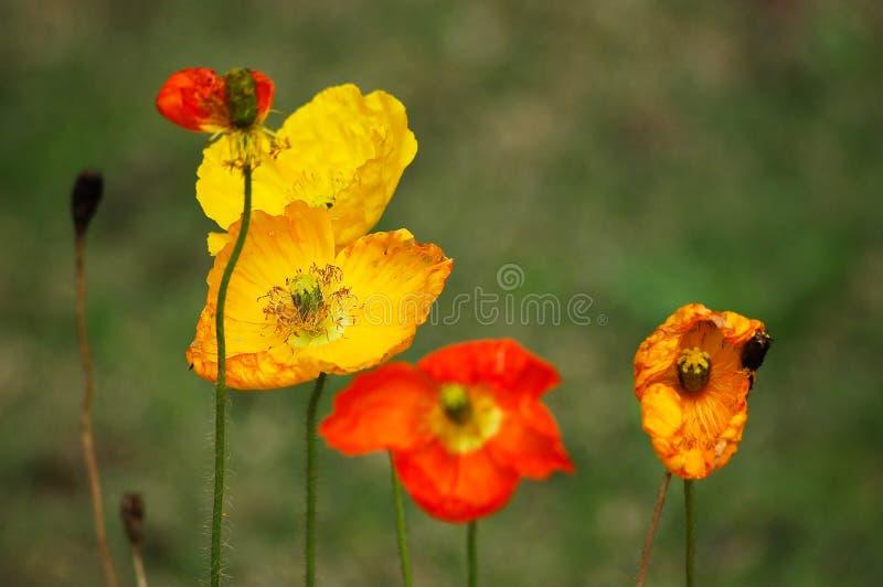 Red yellow poppy flowers stock image image of poppy 35756919 download red yellow poppy flowers stock image image of poppy 35756919 mightylinksfo