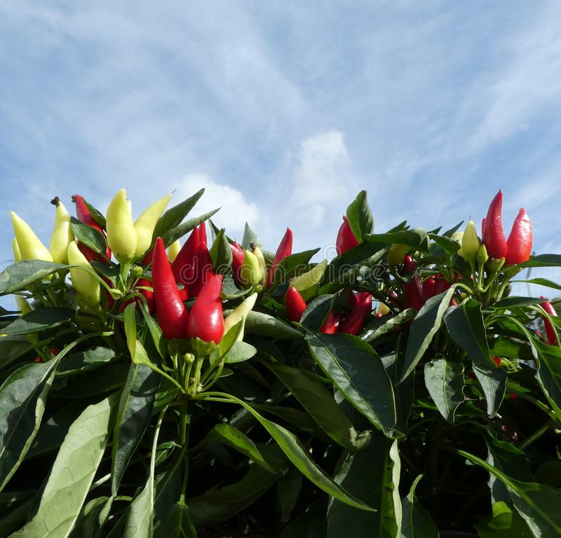 Red and yellow chilli pepper plants stock photos