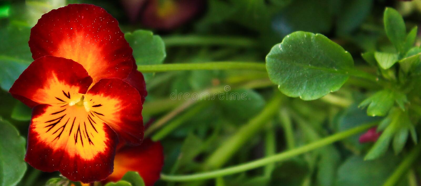 Red and Yellow Primrose flower banner size. Red and Yellow Primrose flower on the left of image in banner size with green background stock photography