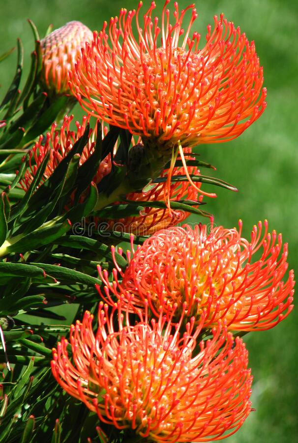 red-and-yellow protea 3 royalty free stock photo