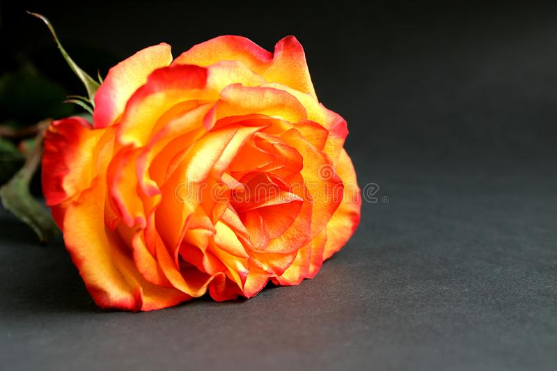 Yellow rose with red edges lies on a black background stock photo