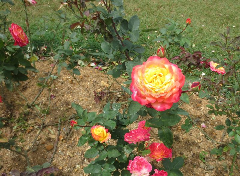 Red-Yellow Rose royalty free stock photos