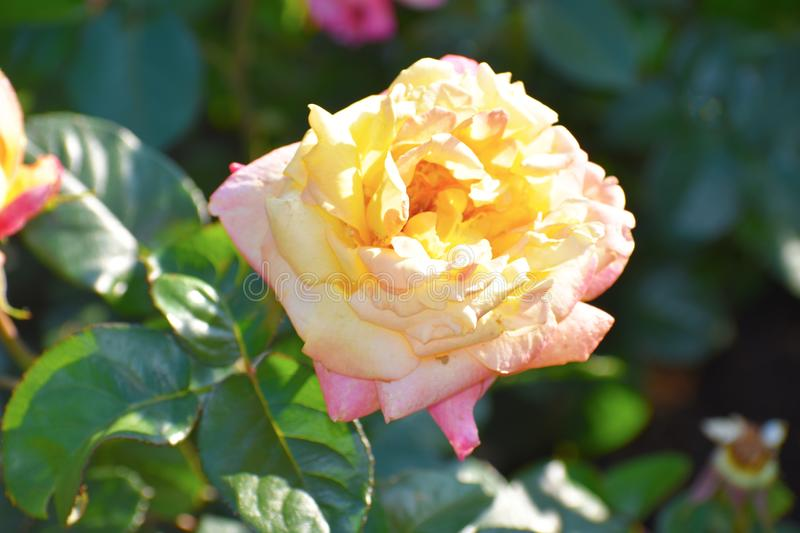 Close up of yellow rose. Red and yellow rose with green leavesn stock photography