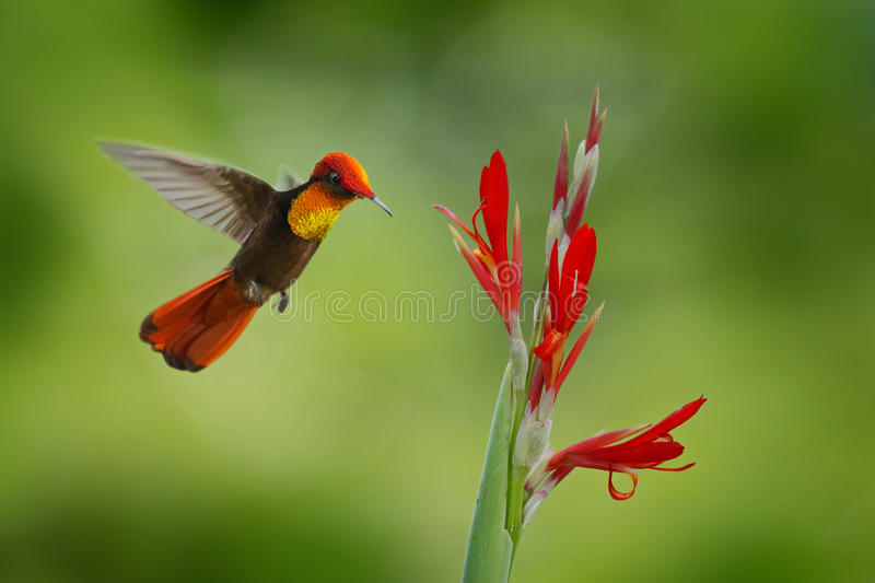 Red and yellow Ruby-Topaz Hummingbird, Chrysolampis mosquitus, flying next to beautiful red flower in Tobago Island. Red and yellow Ruby-Topaz Hummingbird stock photo