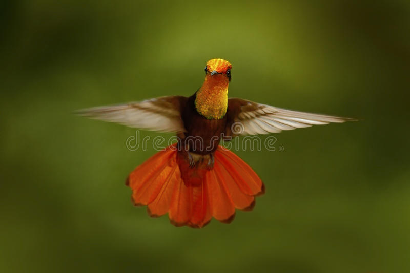 Red and yellow Ruby-Topaz Hummingbird, Chrysolampis mosquitus, flying with open wings, frontal look with glossy orange head, sprea royalty free stock images