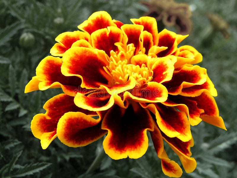 Red & Yellow Striated Marigold royalty free stock photo