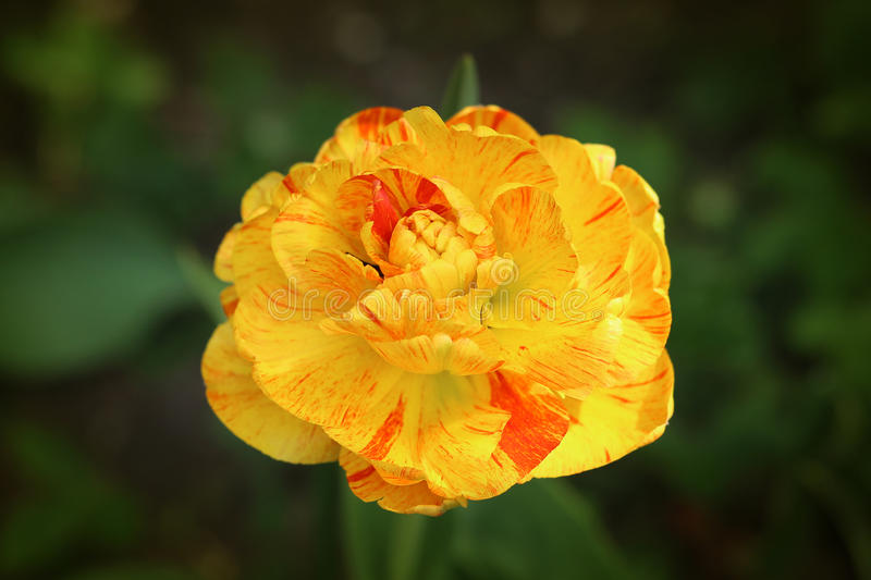 Red and yellow striped tulip stock images