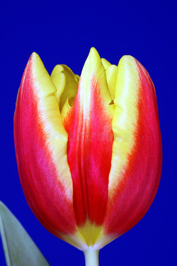 Download Red And Yellow Tulip Flower Stock Photo - Image: 23791790