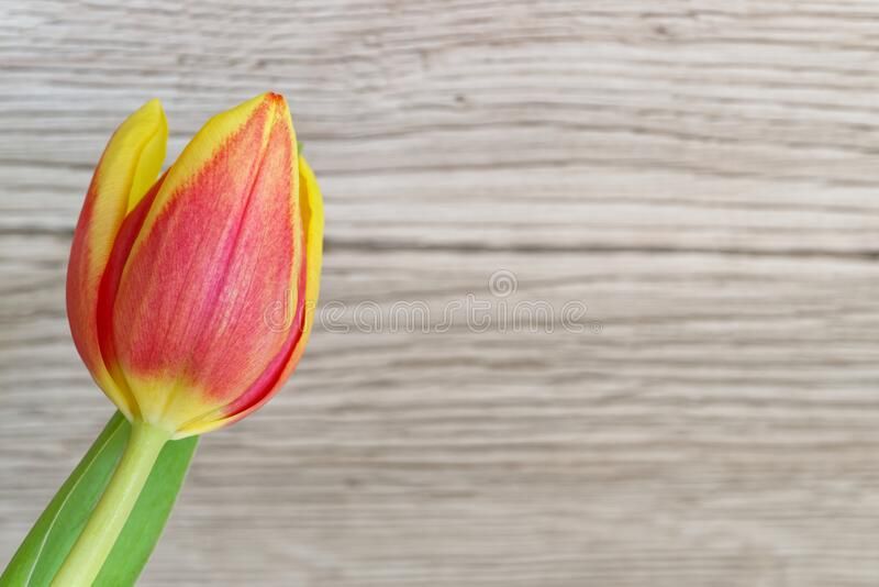 Red yellow tulip flower against wooden background. Single red yellow tulip flower against wooden background with copy space royalty free stock photos