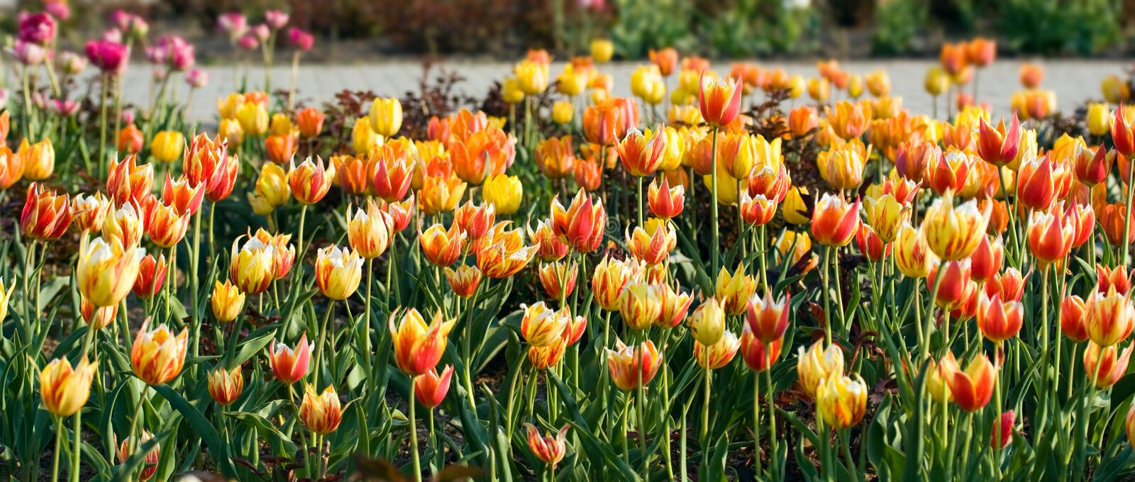 Download Red  And Yellow  Tulip Flowers. Stock Image - Image: 12493729