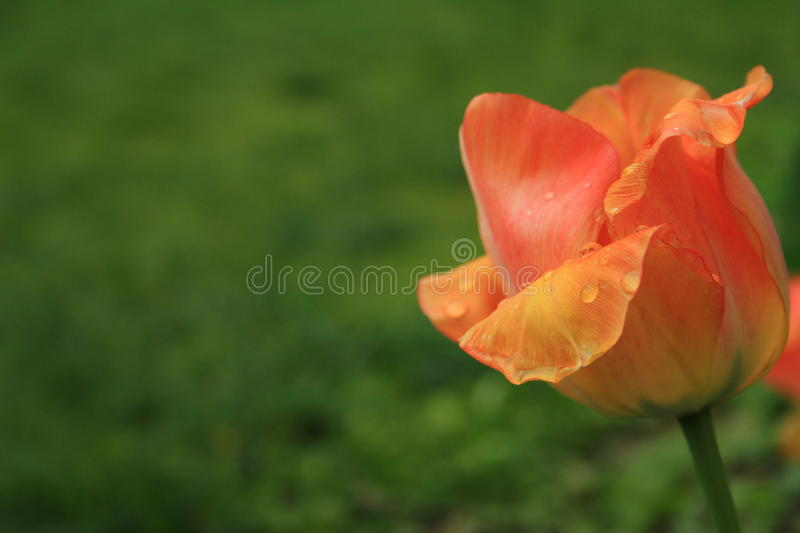 Red yellow tulip after the rain. Details. royalty free stock photo