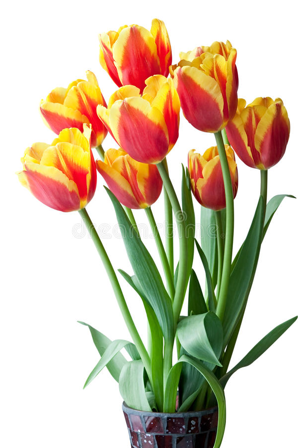 Download Red and yellow tulips. stock image. Image of tulip, background - 13462713