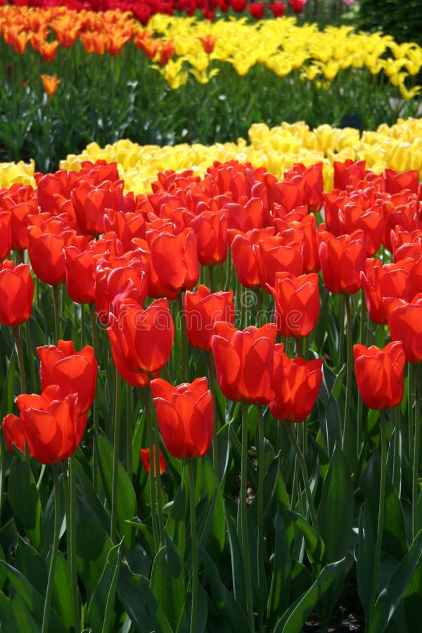 Red & Yellow Tulips stock photography