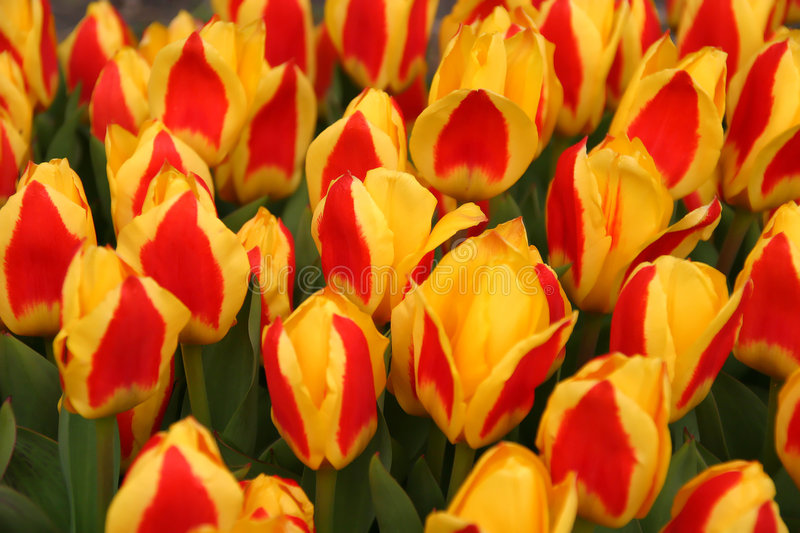 Red-Yellow Tulips royalty free stock photos