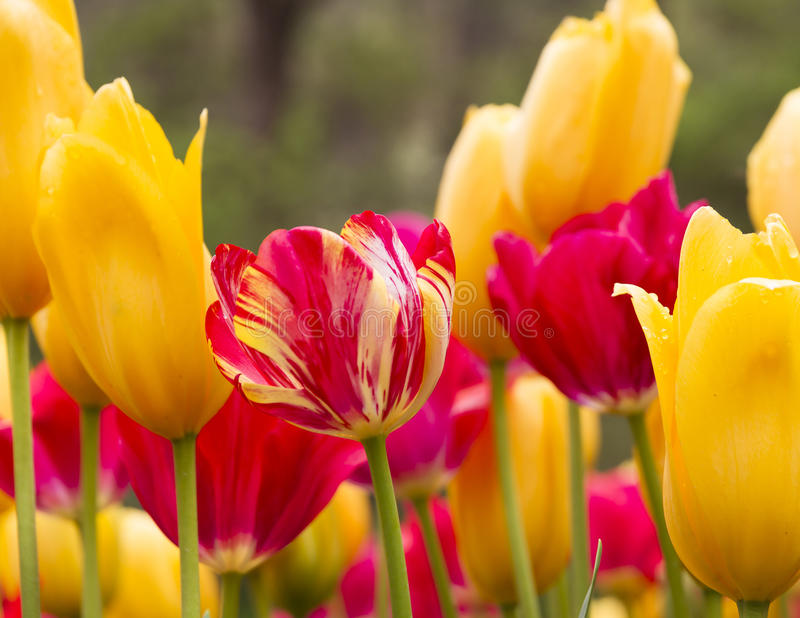 Red and yellow tulips, Araluen Botanic Park, Perth, Australia. Close up of sunlit red and yellow tulips at Araluen Botanic Park, Perth, Australia stock photography