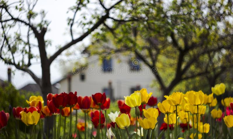 Red and yellow tulips bloom in the garden background. Bright spring flowers. The house in the background stock photos