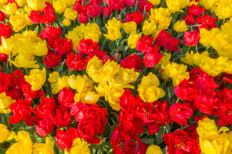 Red and Yellow Tulips royalty free stock images
