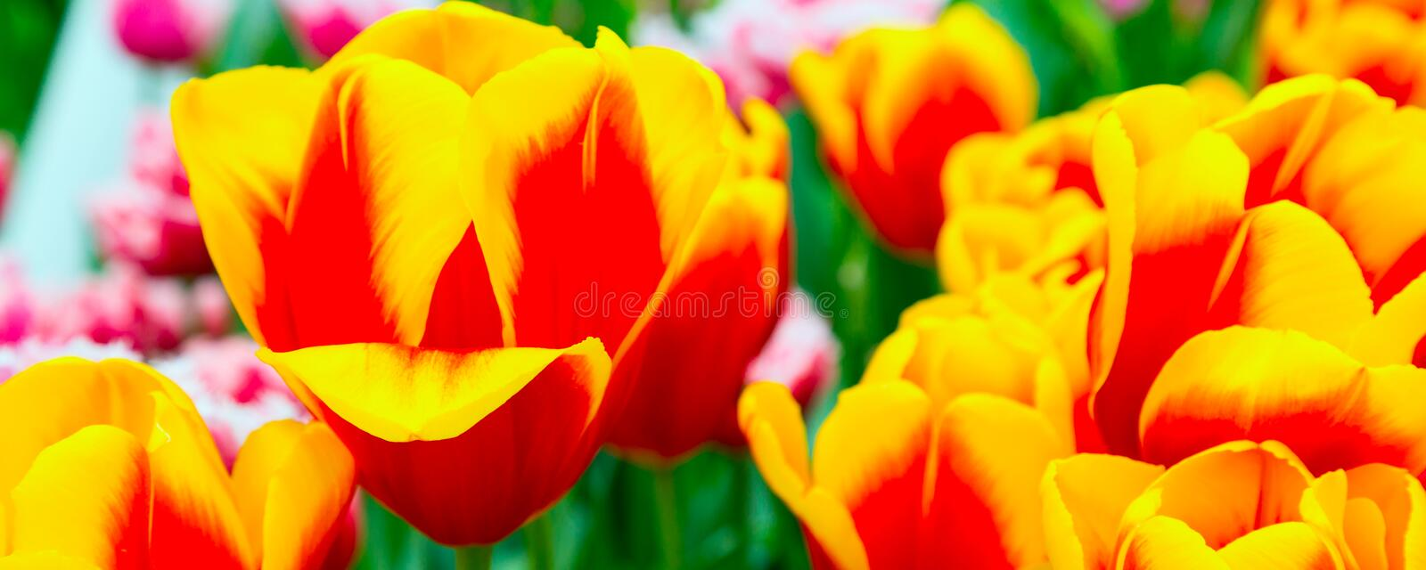 Red and yellow tulips flowerbed close-up. Panoramic holiday or birthday background with red and yellow tulips flowerbed close-up stock photography