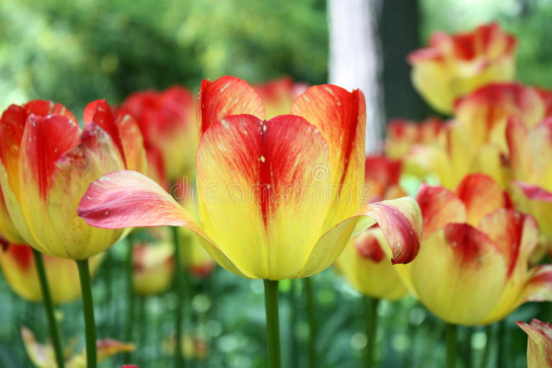 Red yellow tulips royalty free stock images