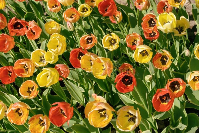 Red and yellow tulips in the Garden under the sunny day in the spring time stock photography