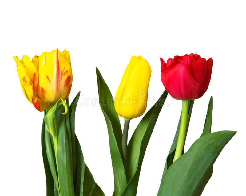 Red, yellow tulips, isolated stock image