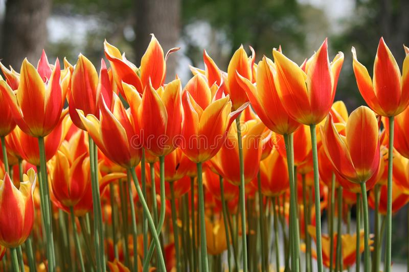 Red and yellow tulips in spring stock photography