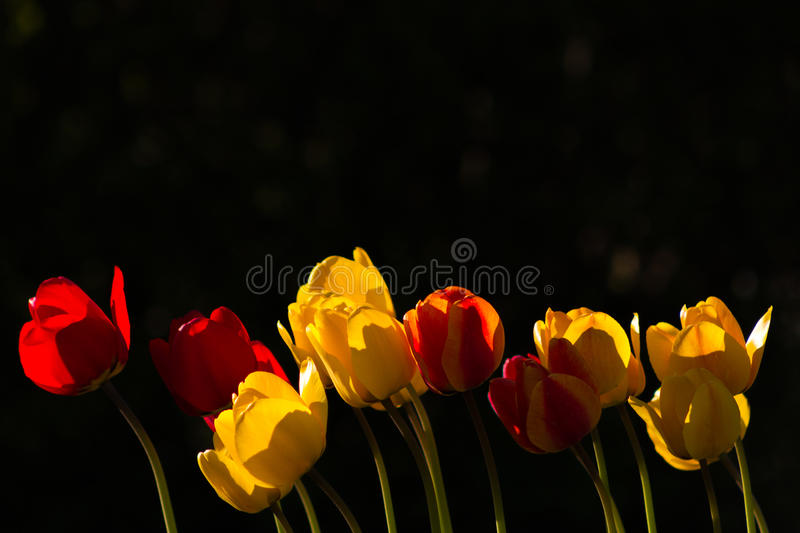 Red and Yellow Tulips at sunset stock image