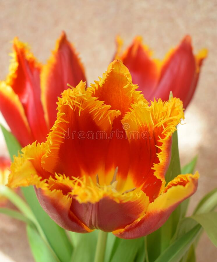 Red and yellow tulips. Tulip flower yellow-red blossom easter. Red and yellow fresh tulip flowers over stucco background. Tulip flower yellow-red blossom easter stock photography