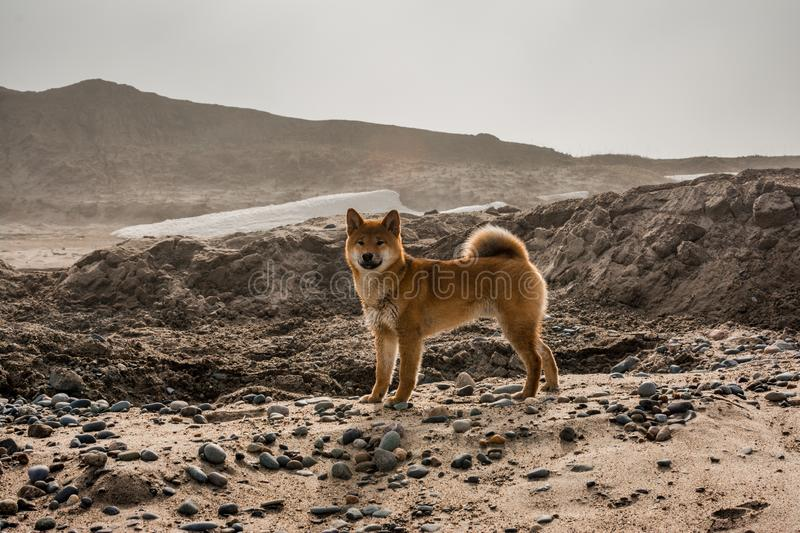 Red young dog shiba-inu standing on beach royalty free stock image