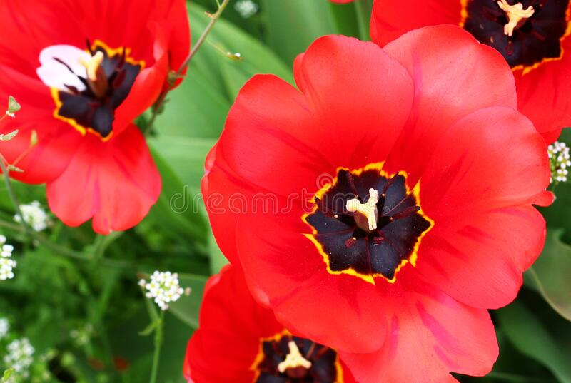 Red tulips at spring season. Red, young tulips at spring season, with green vegetation in background royalty free stock photos