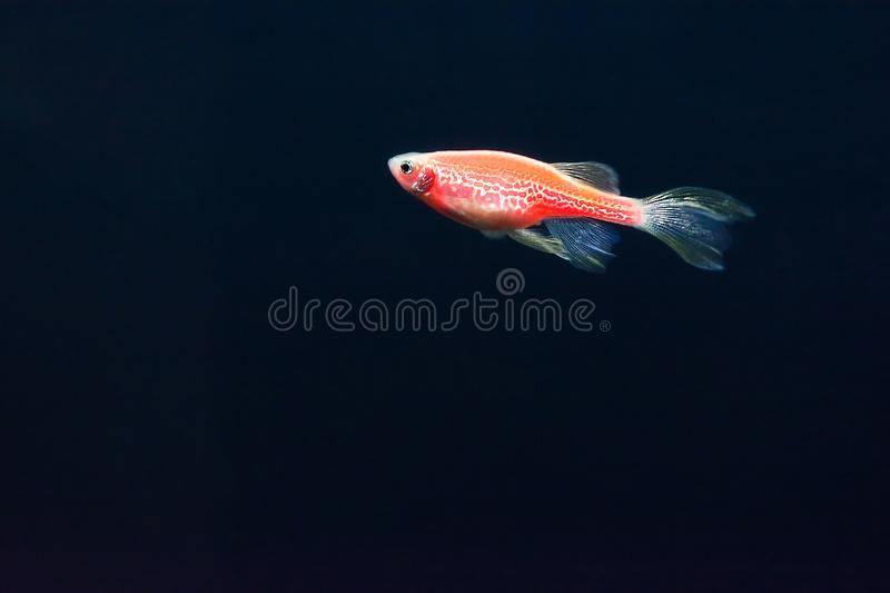 Red zebrafish on a dark blue background. Genetically modified glowing fish. Danio fish royalty free stock photo