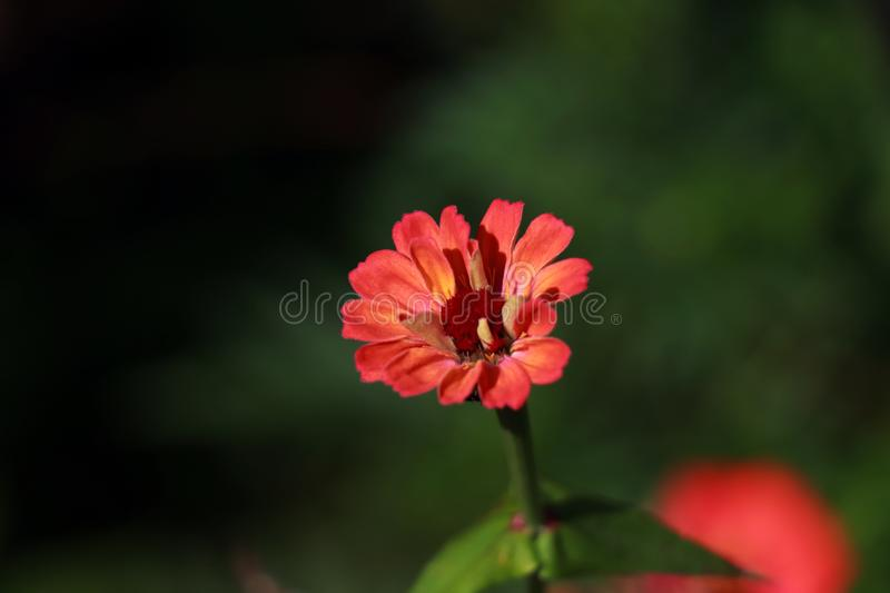 A red Zinnia blooming in a garden. Zinnia flower - Vermilion, Red-Orange aster flowering plant. A macro shot of Zinnia. Asteraceae flowers family. Dark-green stock image