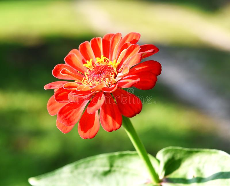 A red zinnia with a blurred background. stock photos