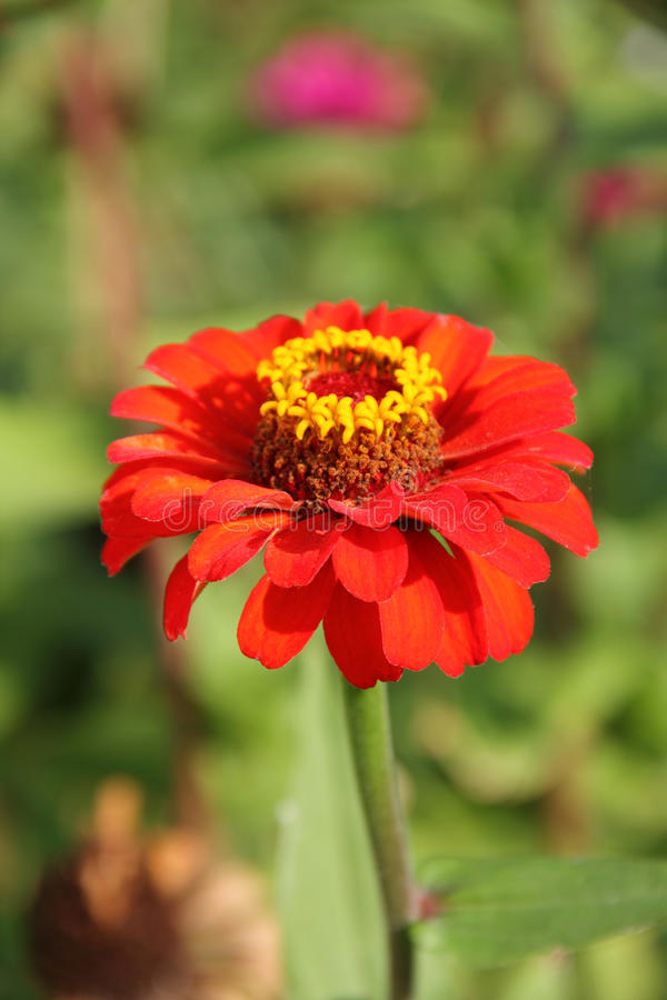 Red Zinnia Flower. On a blurred background of flowering plants royalty free stock photo