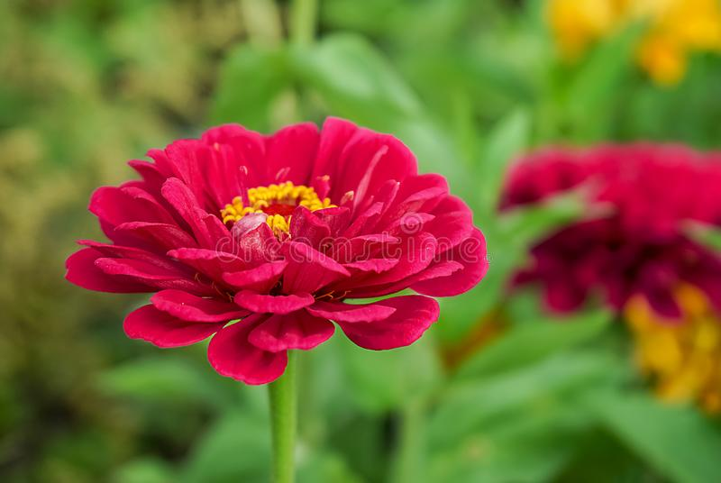 Red Zinnia flower on blurred green background royalty free stock image