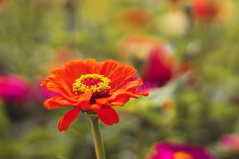Red Zinnia flower in the garden stock photography
