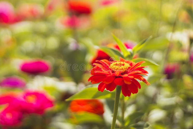 Red Zinnia flower in the garden stock photo