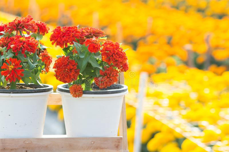 Red zinnia flowers blossom in the garden, red flowers stock images