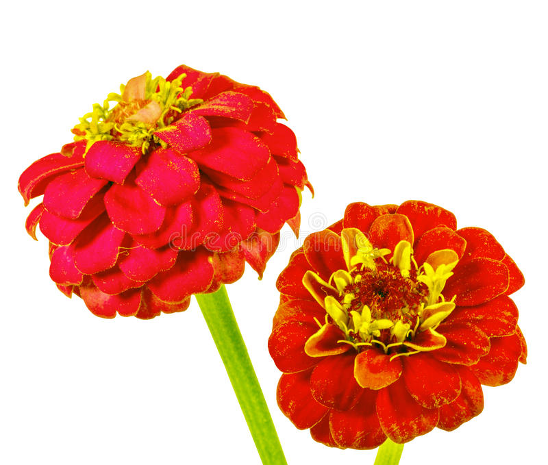 Red Zinnia In A White Background Stock Photos