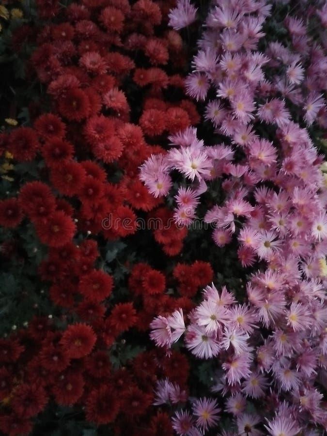 Redand purpere bloemen stock foto