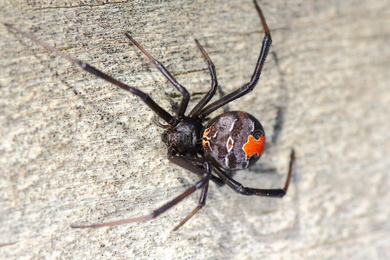 Redback pająk makro- obrazy stock