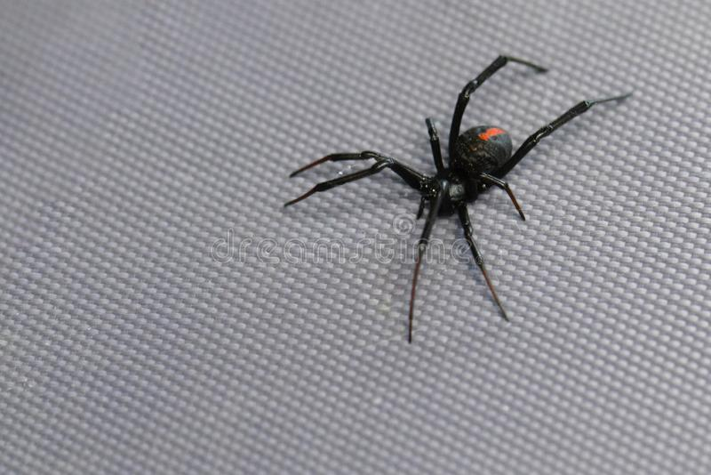 Redback spider royalty free stock images