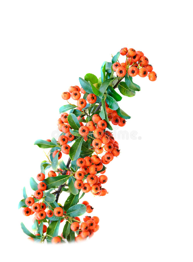 Redberries, Rowan branch isolated on white background.  royalty free stock image