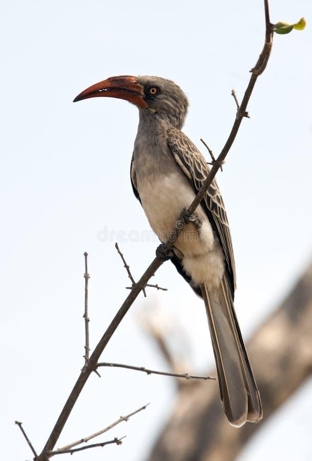 Redbilled Hornbill - Namibia Stock Photo