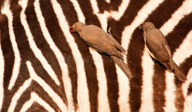 Redbilled-Oxpeckers op het lichaam van de zebra royalty-vrije stock afbeelding