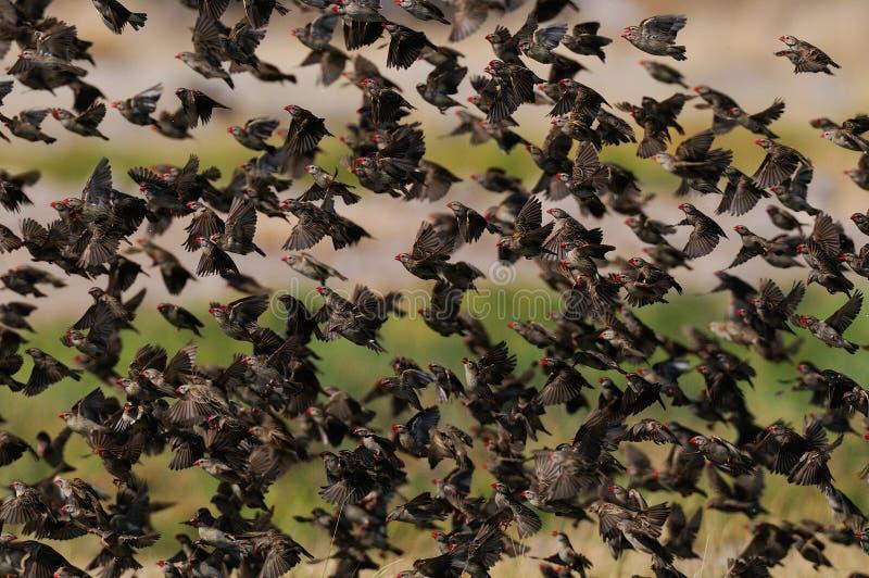 Redbilled quelea群在天空中 库存照片