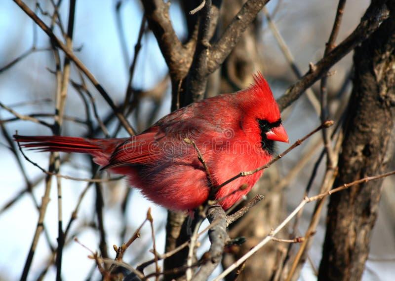 Redbird royalty-vrije stock foto's