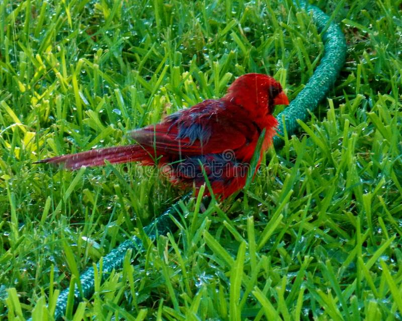 Redbird, cardenal de sexo masculino, goza de una ducha fotografía de archivo