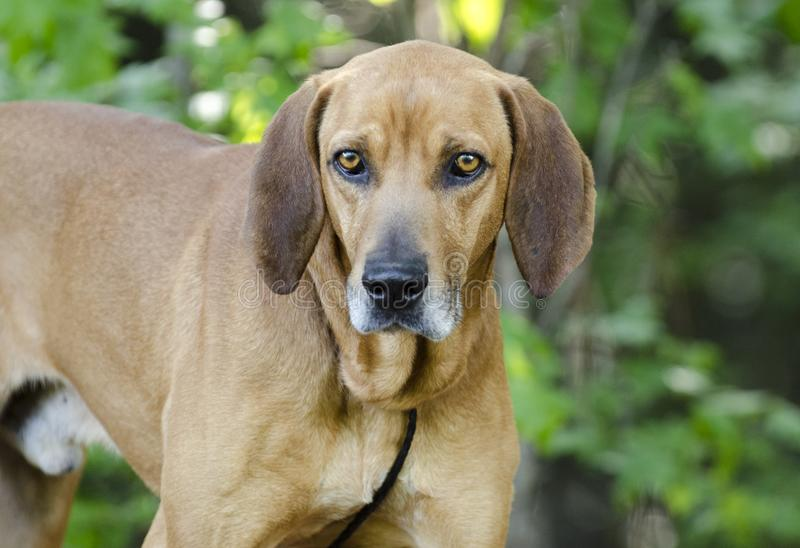 Redbone Coonhound hunting dog, animal shelter pet adoption photo. Unneutered male Redbone Coonhound dog with floppy ears outside with black leash. Heartworm stock photography